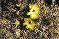 Cactus en flor 2.jpg