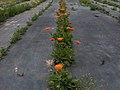 Calendula officinalis g2.jpg