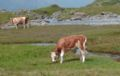 Calf grazing on alp pasture.jpg
