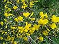 Calicotome villosa.JPG