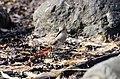 Calidris alpina-pjt1.jpg