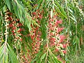 Callistemon sp Coonoor ph 02.jpg