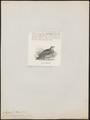 Caloenas trisignata - 1872 - Print - Iconographia Zoologica - Special Collections University of Amsterdam - UBA01 IZ15600301.tif