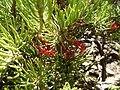 Calothamnus hirsutus (leaves, flowers).JPG