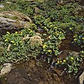 Caltha palustris (13082165775).jpg