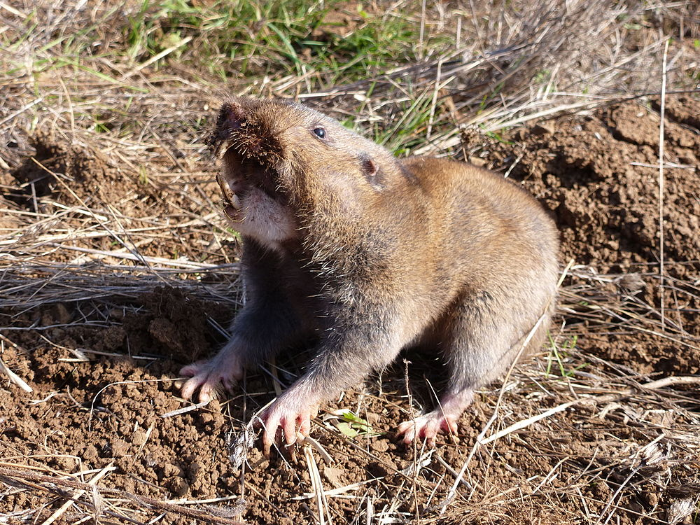 The average litter size of a Camas pocket gopher is 4