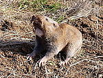 A Camas pocket gopher