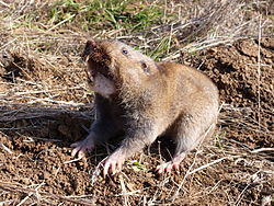 Camas pocket gopher (3).JPG