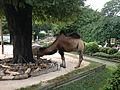 Camel at Karlsruhe Zoo.jpg