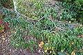 Camellia tsaii - Mendocino Coast Botanical Gardens - DSC02317.JPG