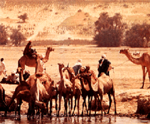 Sahel - Camels trample the soil in the semiarid Sahel as they move to water holes, such as this one in Chad.