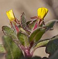 Camissonia guadalupensis ssp. clementina (5625502671).jpg