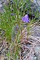 Campanula rotundifolia (14812321358).jpg