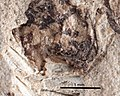 Camponotus fuscipennis UCM17015 head.jpg