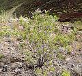 Campylanthus salsoloides kz4.JPG