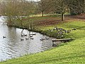 Canada Geese enjoying the afternoon sun - geograph.org.uk - 620044.jpg