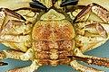 Cancer pagurus - Crabe dormeur - Tourteau - 013.jpg