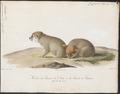Canis aureus - 1818-1842 - Print - Iconographia Zoologica - Special Collections University of Amsterdam - UBA01 IZ22200029.tif