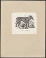Canis lupus familiaris - 1700-1880 - Print - Iconographia Zoologica - Special Collections University of Amsterdam - UBA01 IZ22200411.tif