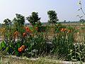 Cannas at Tadoba - Flickr - gailhampshire.jpg