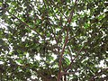 Canopy of an Indian cherry tree (Muntingia calabura) 01.jpg