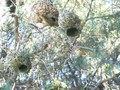 File:Cape weaver (Ploceus capensis) nest building video.webm