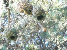 Datei:Cape weaver (Ploceus capensis) nest building video.webm