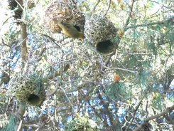 Податотека:Cape weaver (Ploceus capensis) nest building video.webm
