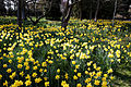 Capel Manor Gardens Enfield London England - Daffodil drift.jpg