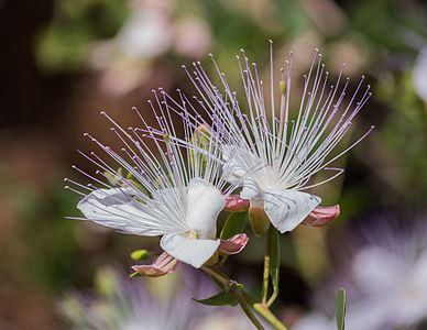 Capparis spinosa in the Ichkeul National Parc