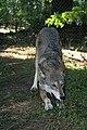 Captive male red wolf at Sandy Ridge (6351222566).jpg