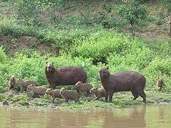 Capybara Bolivie.jpg