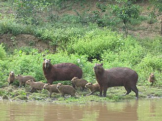 Beni Department - Capybara family in the region of Rurrenabaque, Beni Dept.