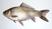 Un pez de color plateado pálido y marrón, mirando hacia la izquierda