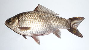 Koinophilia - Ancestral prussian carp