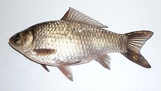 Goldfish - A wild Prussian carp (Carassius gibelio)