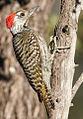 Cardinal Woodpecker - MALE, Dendropicos fuscescens at Pilanesberg National Park, Northwest Province, South Africa (15091608612).jpg