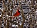 Cardinalis.jpg