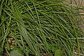 Carex canariensis (03).jpg