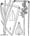 Carex conjuncta drawing 1.png