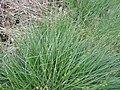 Carex echinata kz03.jpg