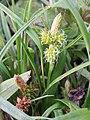 Carex oederi sl2.jpg