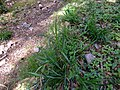 Carex pendula plant (8).jpg