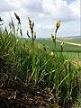Carex praecox sl1.jpg