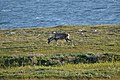 Caribou (Rangifer tarandus) - Port au Choix, Newfoundland 2019-08-19 (30).jpg