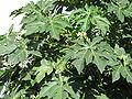 Carica papaya3.jpg