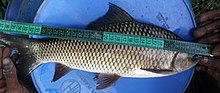 Carp (Catla catla) produced in IMTA pond.JPG