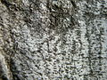 Carpinus betulus (13).JPG