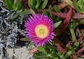 Carpobrotus April 2015-1.jpg