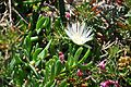 Carpobrotus edulis Ice Plant, Pigface კარპობროტუსი.JPG